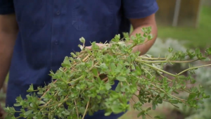 Purslane, a weed that's edible, tasty and nutritious