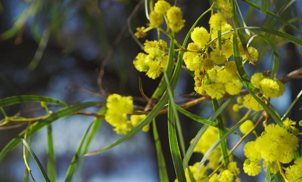 Wattle flowers in bloom from the Acacia tree